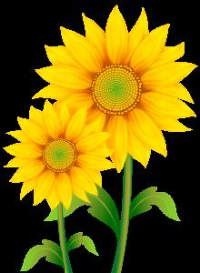 Transparent_sunflowers_clipart_png_image-220x300