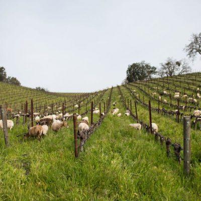 Herd-of-sheep-ots0r0y51rwhe7ua0bpghfcino0hgh2jd2crgftsbk
