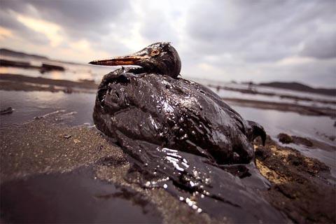 Oilsoakedbird