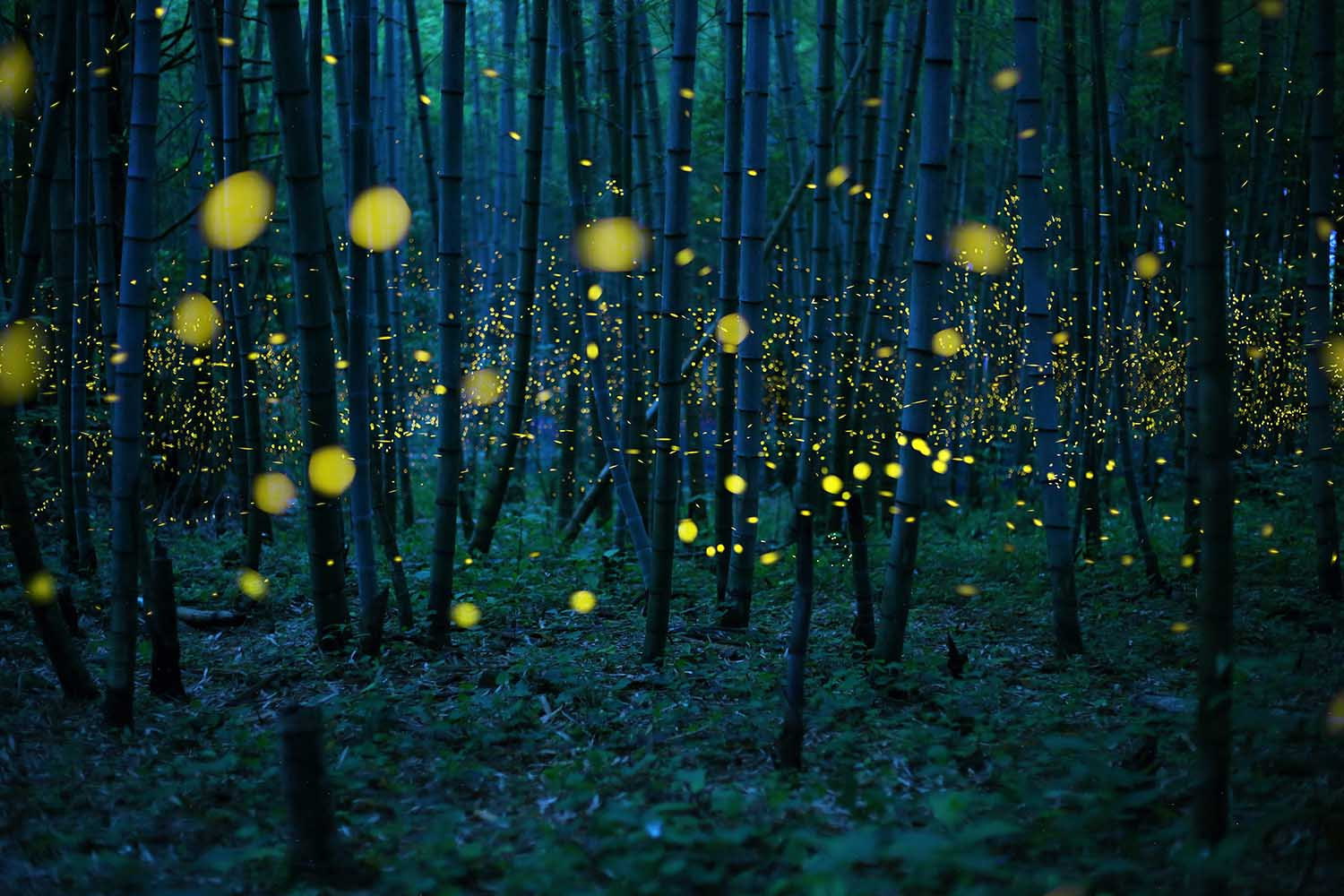 Fireflies_in_the_forest_(c)_kei_nomiyama