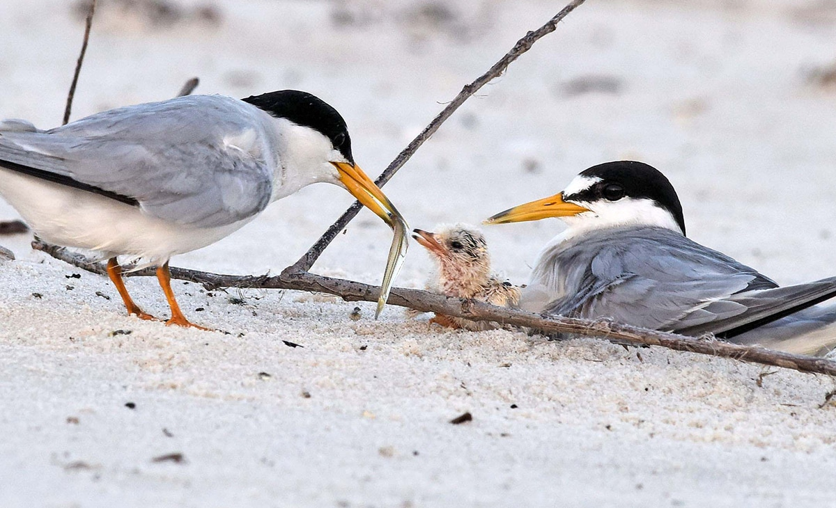 Least-terns-6-charles-hubbard-header_orig