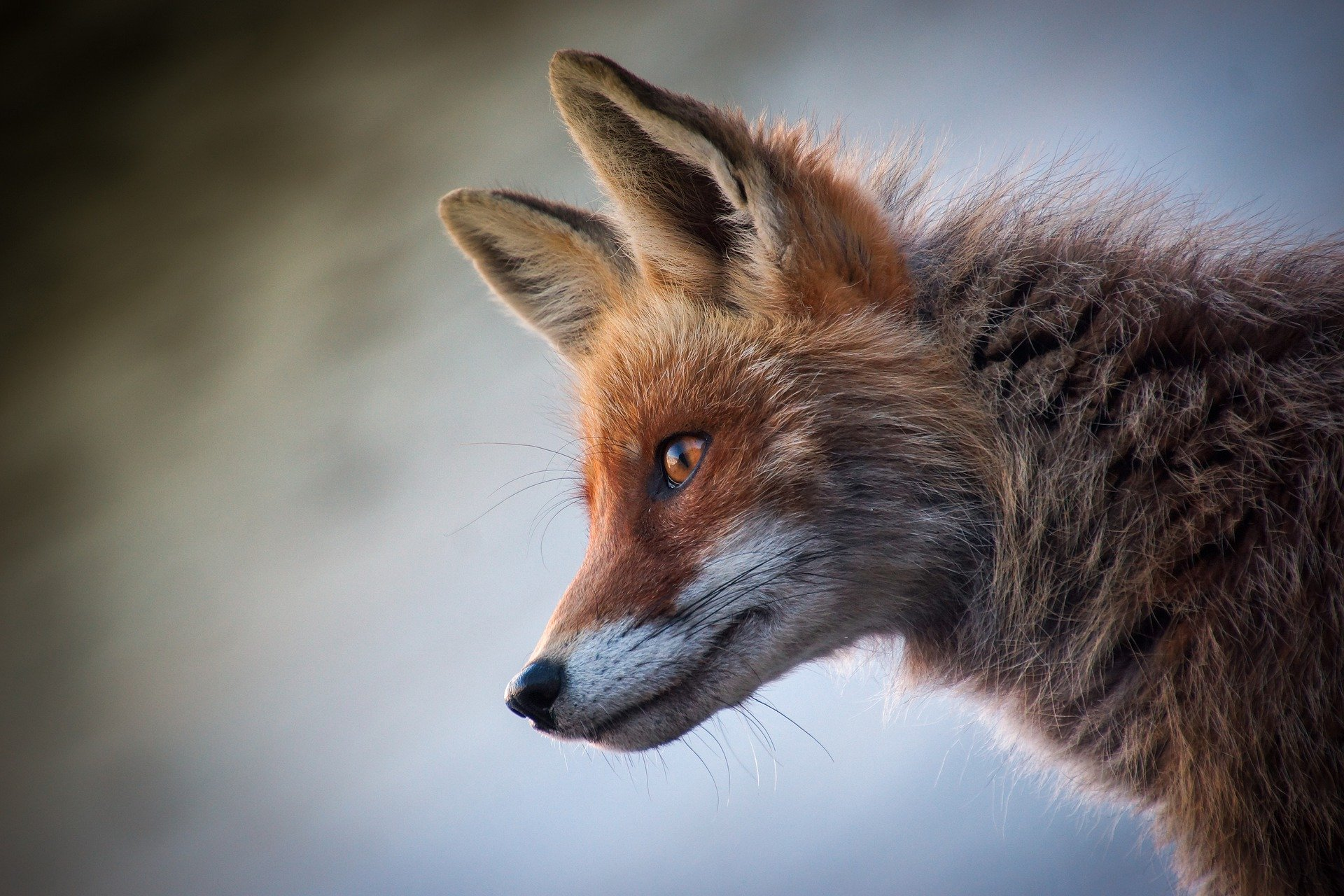 Fox-4589927_1920