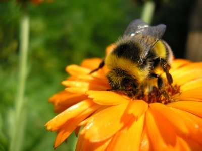 Take strong action on neonicotinoid pesticides to protect bees!