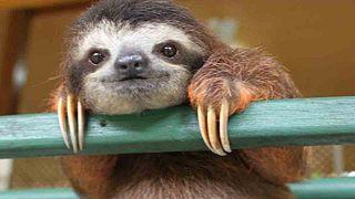 Environnement, forêts, huile de palme  Cute_Sloth