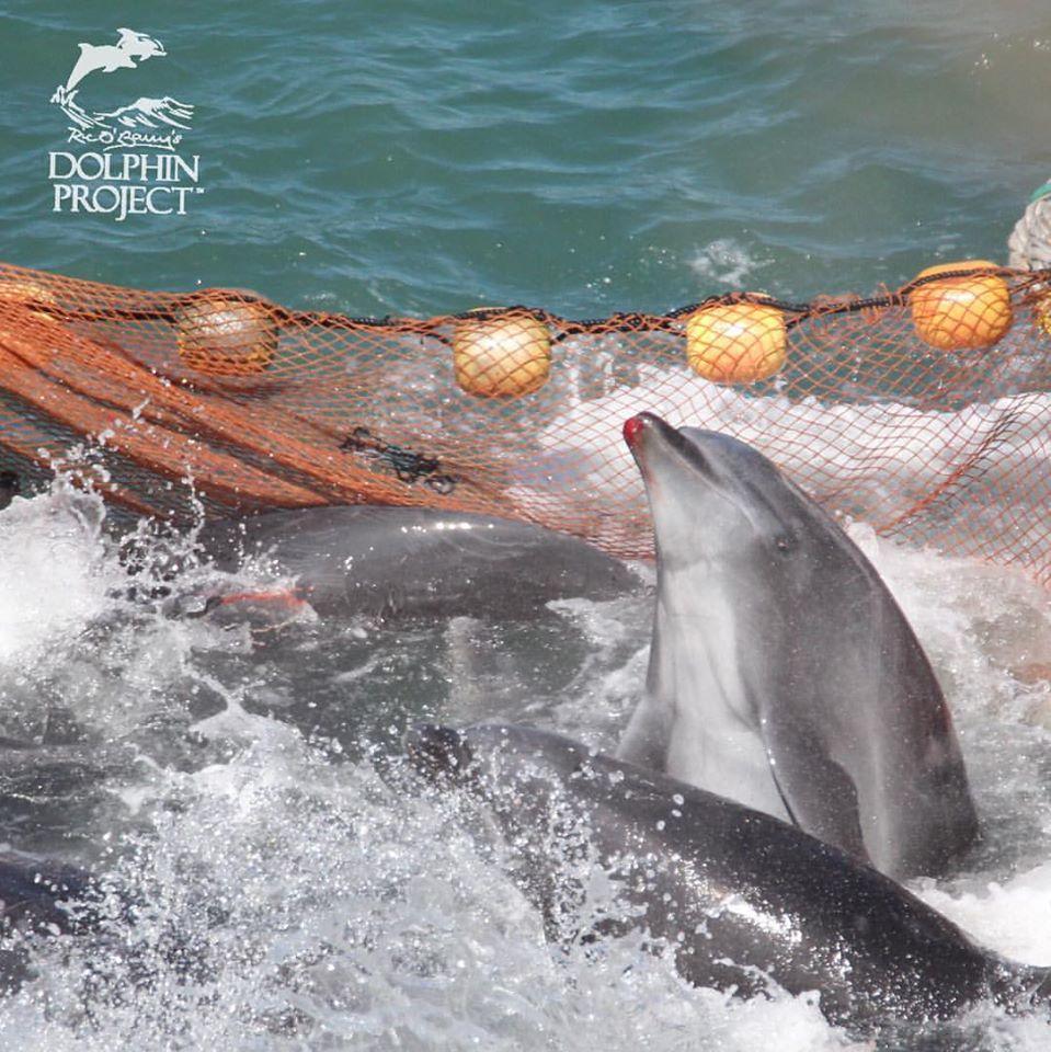 Captured_bottlenose_dolphins_taiji_japan_8