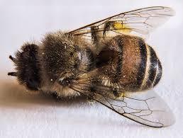 Dead_bee_2