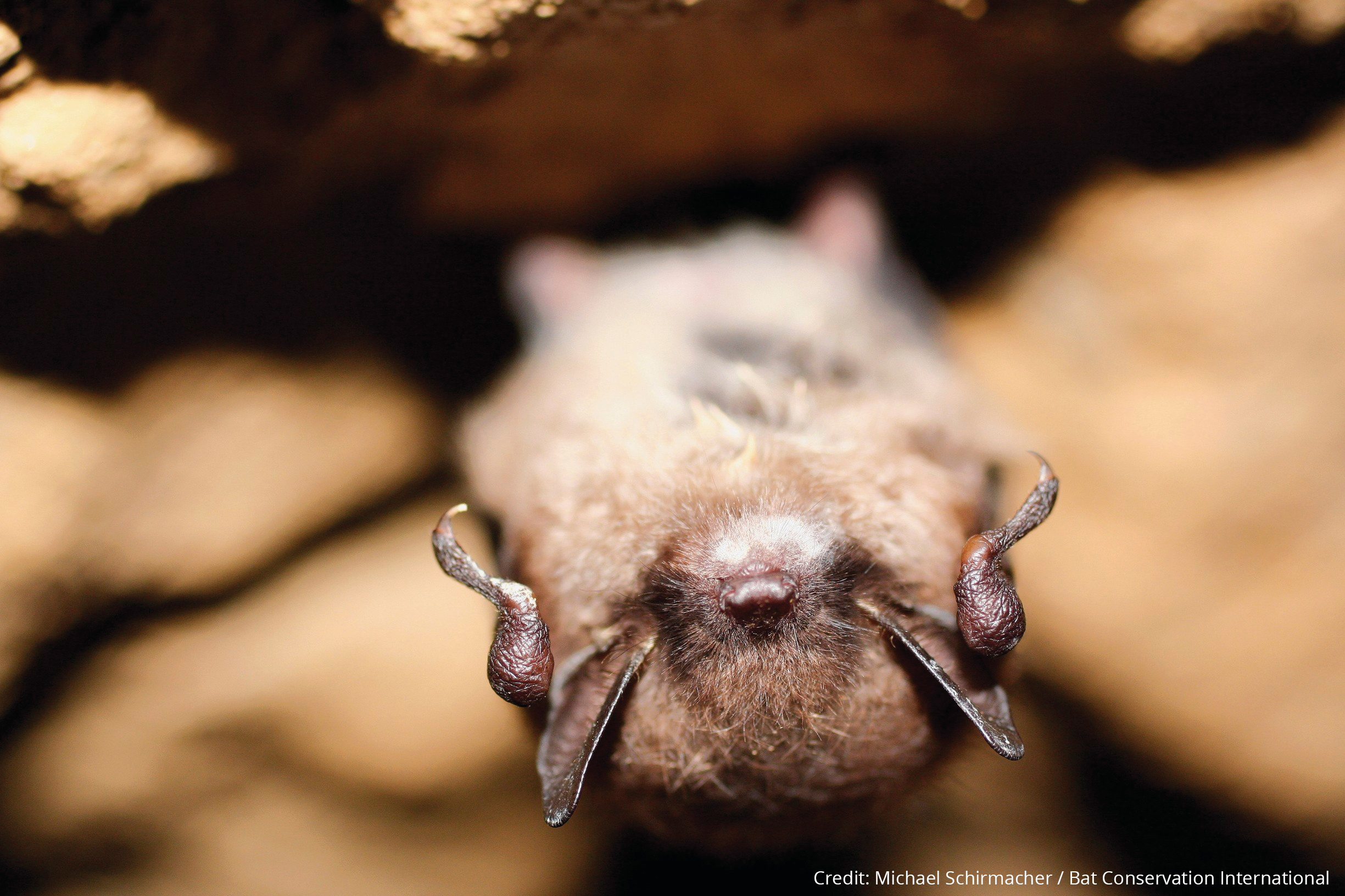 108608-23_a_little_brown_myotis_shows_symptoms_of_white-nose_syndrome_on_its_chin._credit__michael_schirmacher___bat_conservation_international