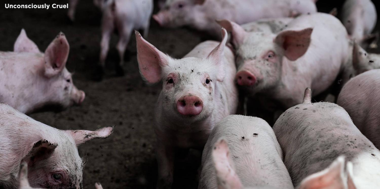 Bannerunconsciously_cruel_pigs
