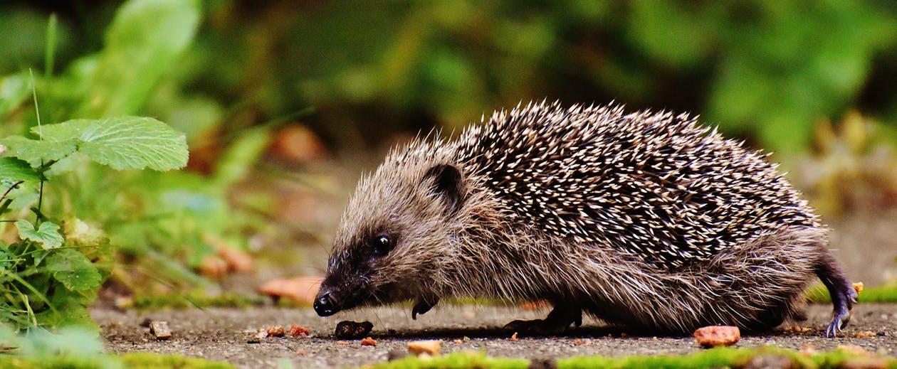 Hedgehog_banner_image