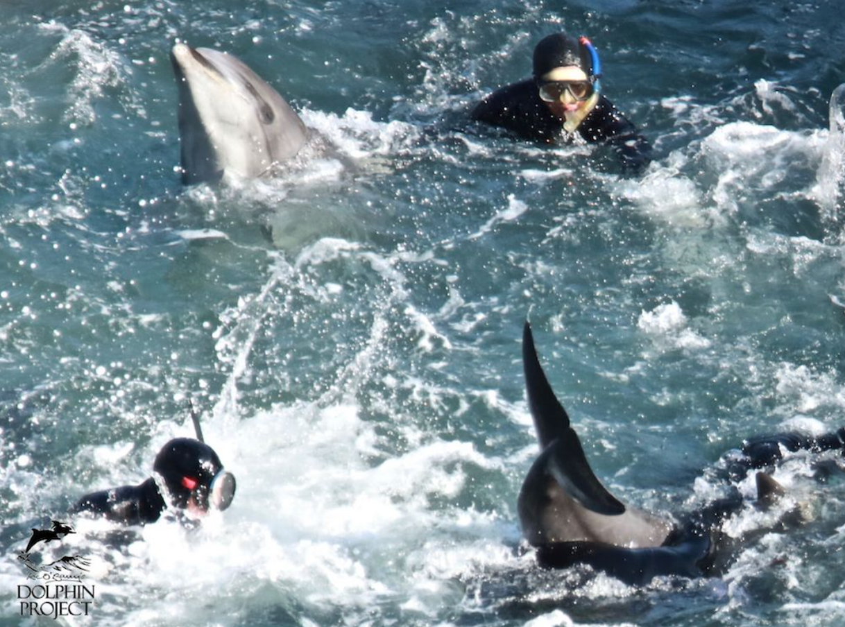 Struggling dolphins are brutalized into submission, Taiji, Japan.