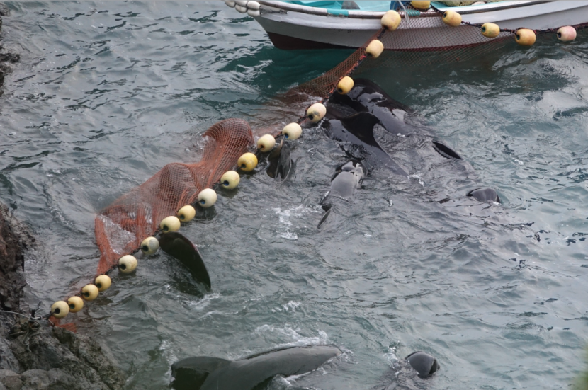 Pilot whales panic after being driven into The Cove, Taiji, Japan
