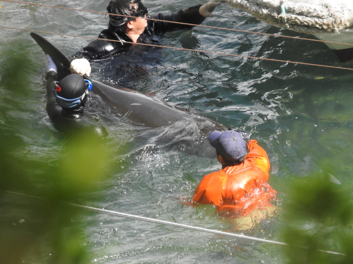 Risso's dolphin guided to slaughter, Taiji, Japan.