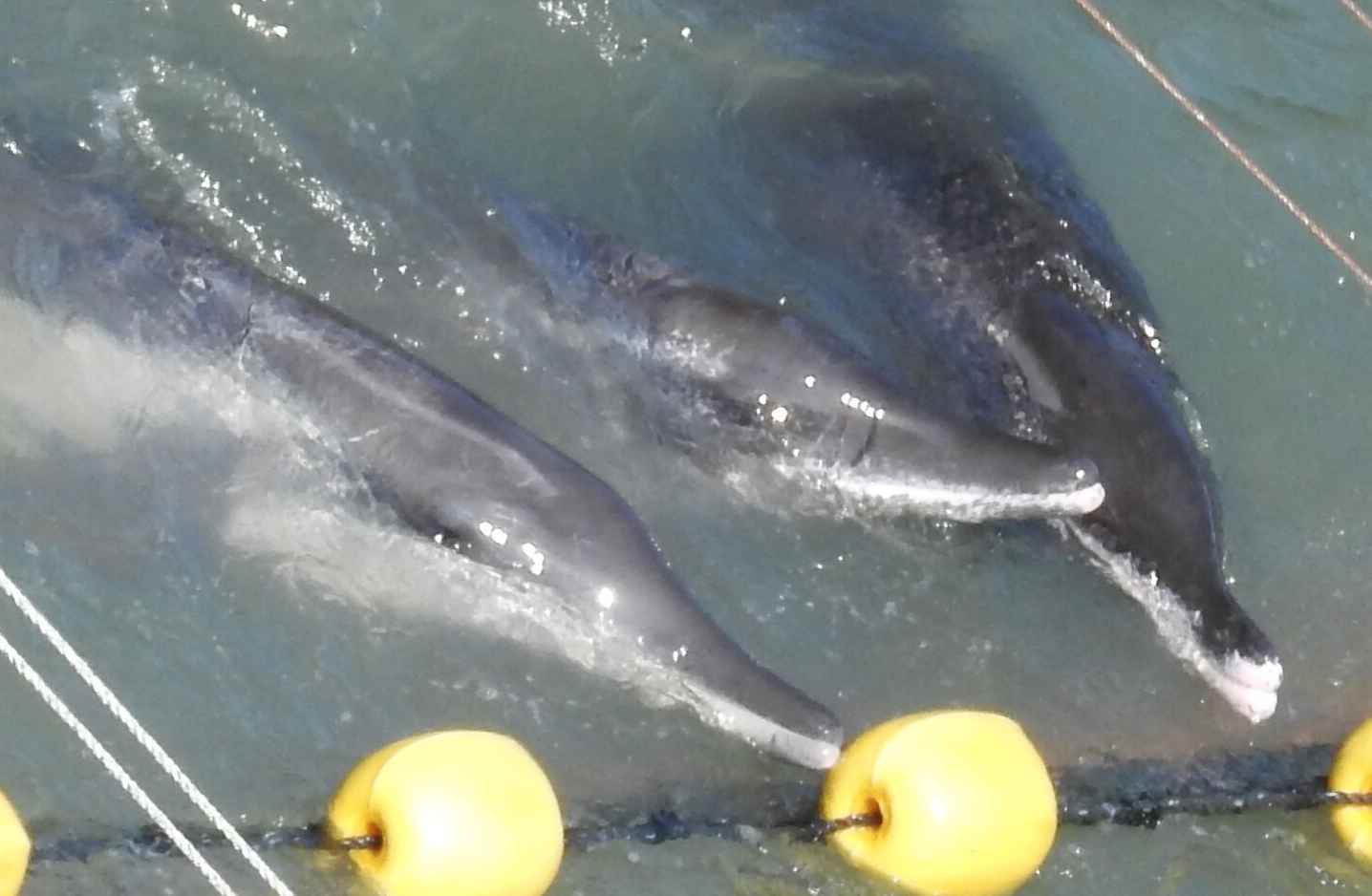 Rough-toothed dolphins driven into the cove, Taiji, Japan