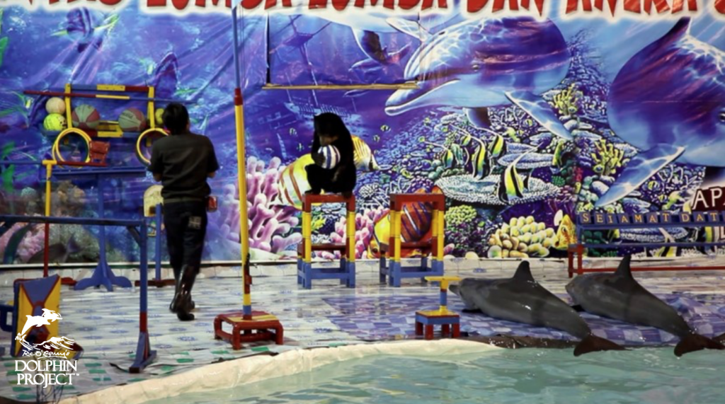 Indonesia's horrific traveling dolphin circuses. Credit: DolphinProject.com