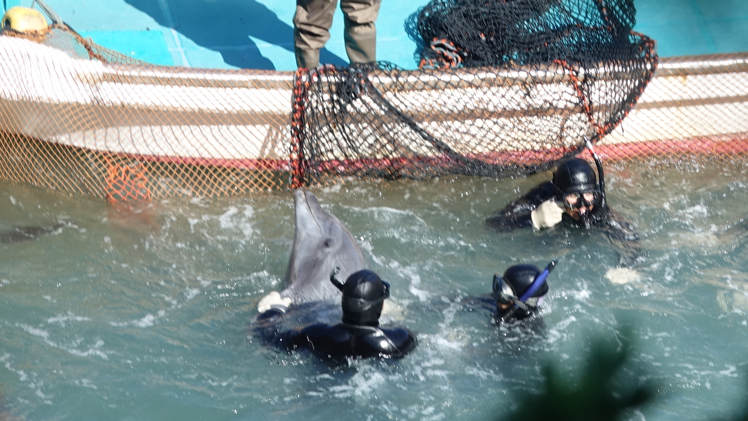Brutality in the cove as a captive selection of bottlenose dolphins takes place, Taiji, Japan. Credit: DolphinProject.com