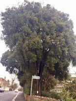 Holm Oak on Ashley Down Road